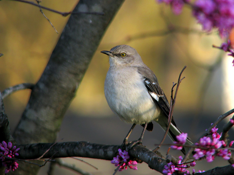 mockingbird_3368.jpg
