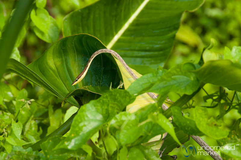Snake on the Leaves - Tortuguero Canals, Costa Rica