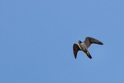 Kites, Eagles and Hawks