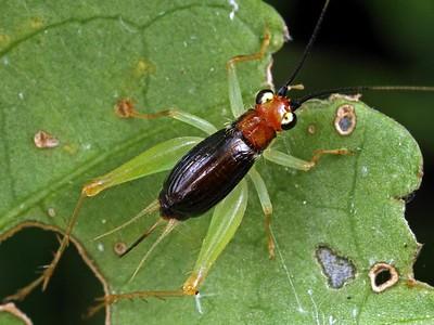 Crickets - suborder Ensifera