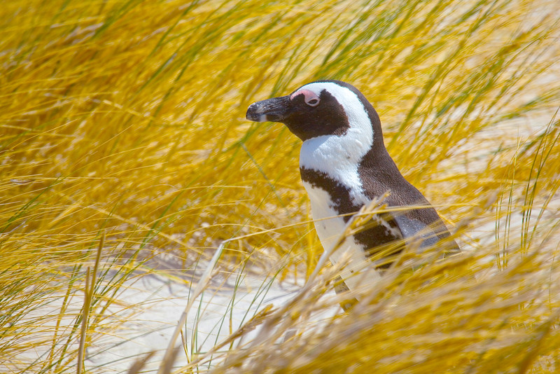 African penguin walking through the grass on Boulders Beach, South Africa.