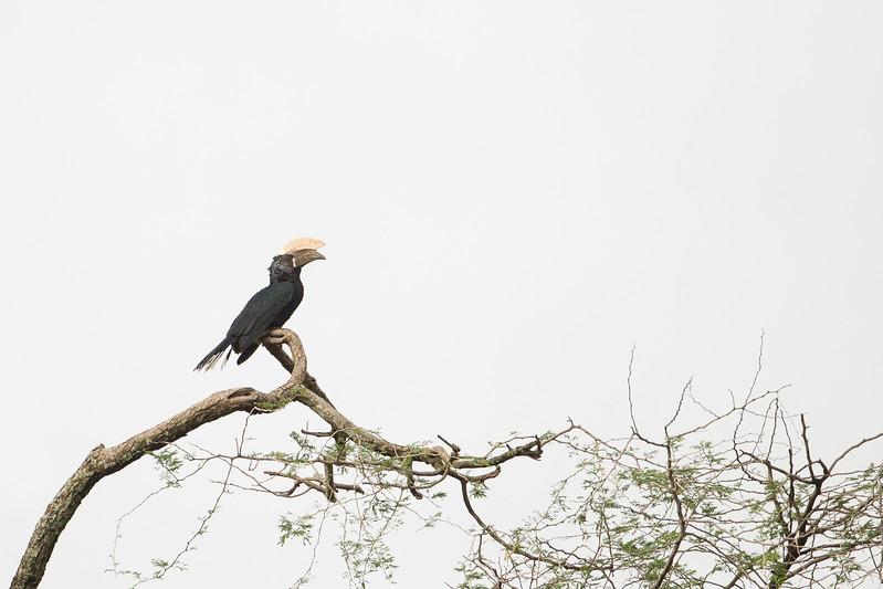 Silvery-cheeked Hornbill - Male - Lake Manyara National Park, Tanzania