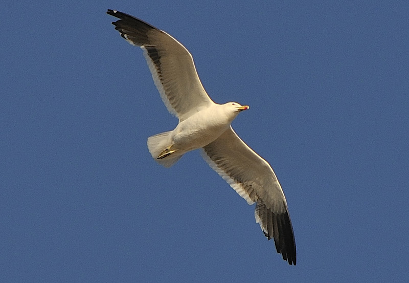 08 jan chile 3 seagulll 1.jpg