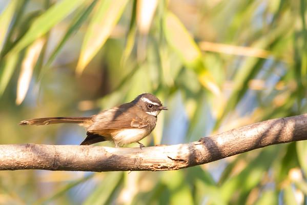 Fantails - Rhipiduridae