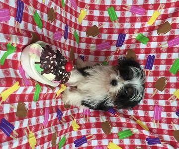 2015 Morkie Puppies