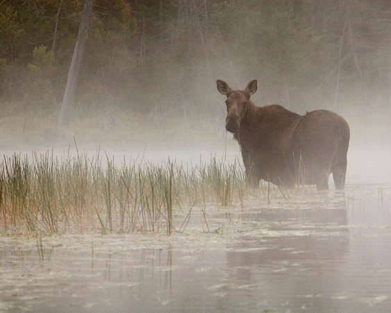 Moose in the  Fog .