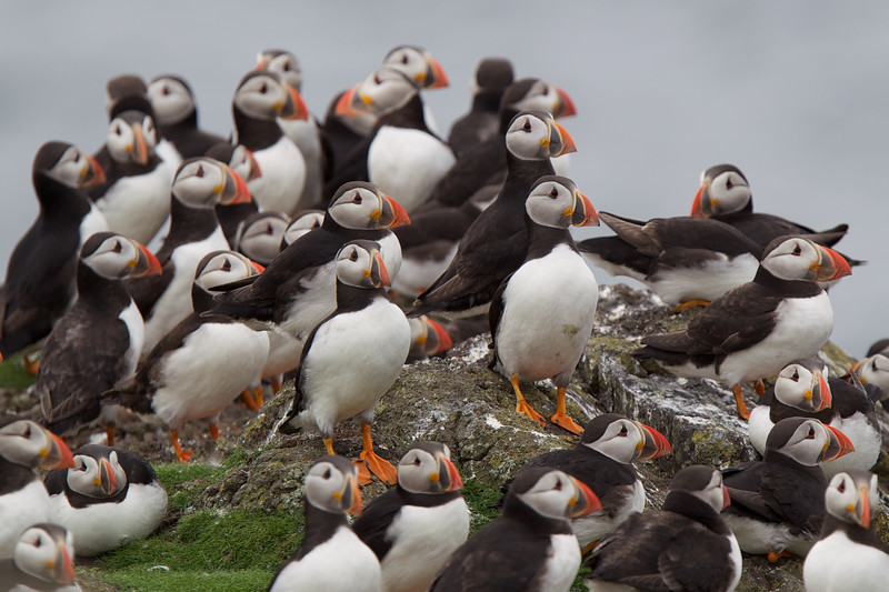 Puffin gathering on the Isle of May