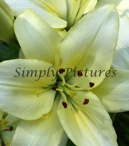 cropped day lilly