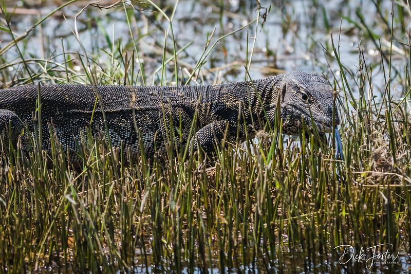 Water Monitor Lizard on the Island