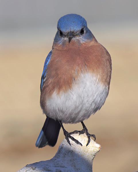 sx50_bluebird_boas_014.jpg