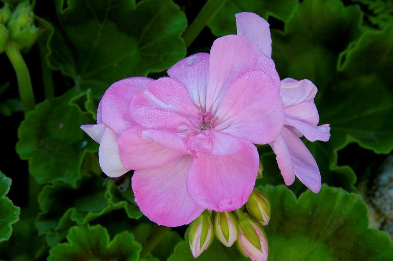 Geranium Annual (2).jpg