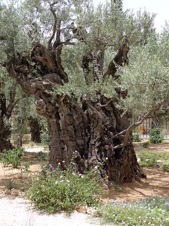 Garden of Gethsemane 16