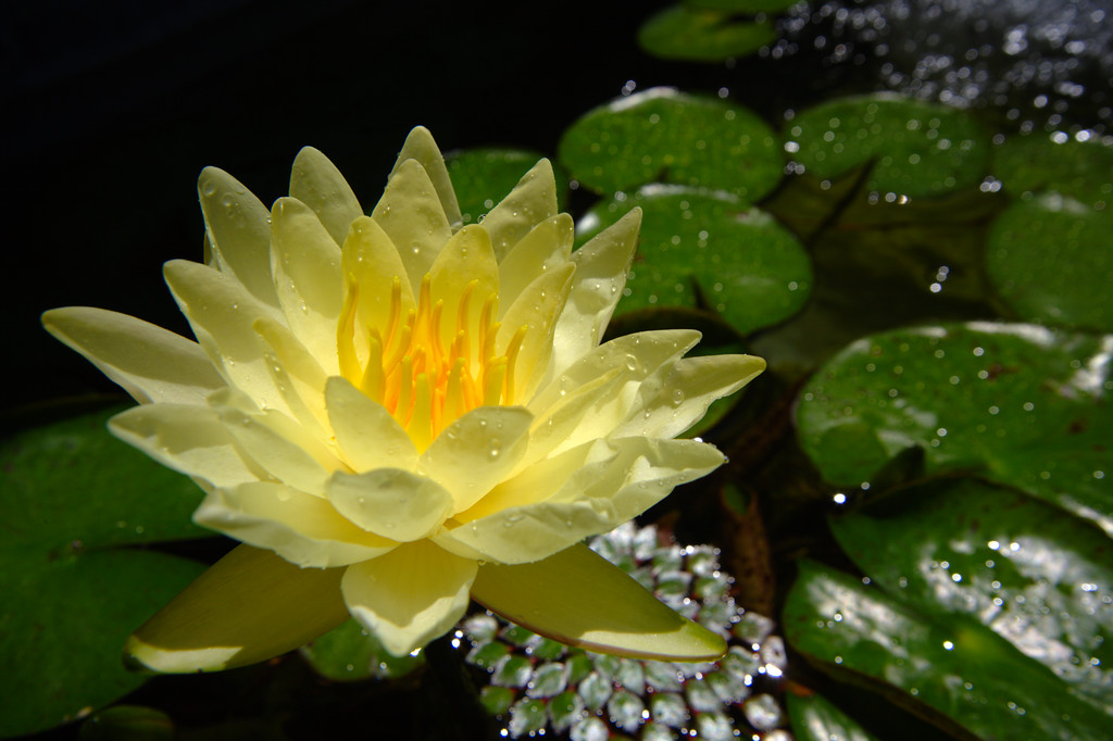 Getty Villa - Yellow Lotus 2