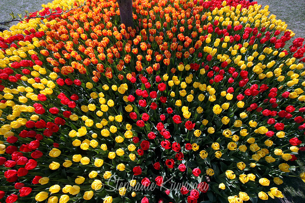 Tulip Festival - 04/2011