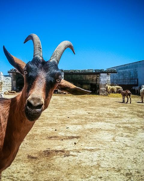 Masseria Marangiosa goat.jpg