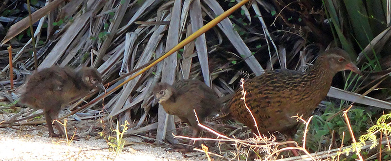 Mother weka and chicks