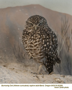 Burrowing Owl A83308c.jpg