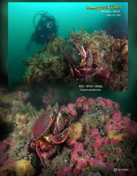 5.28.16 Red rock crab S .jpg