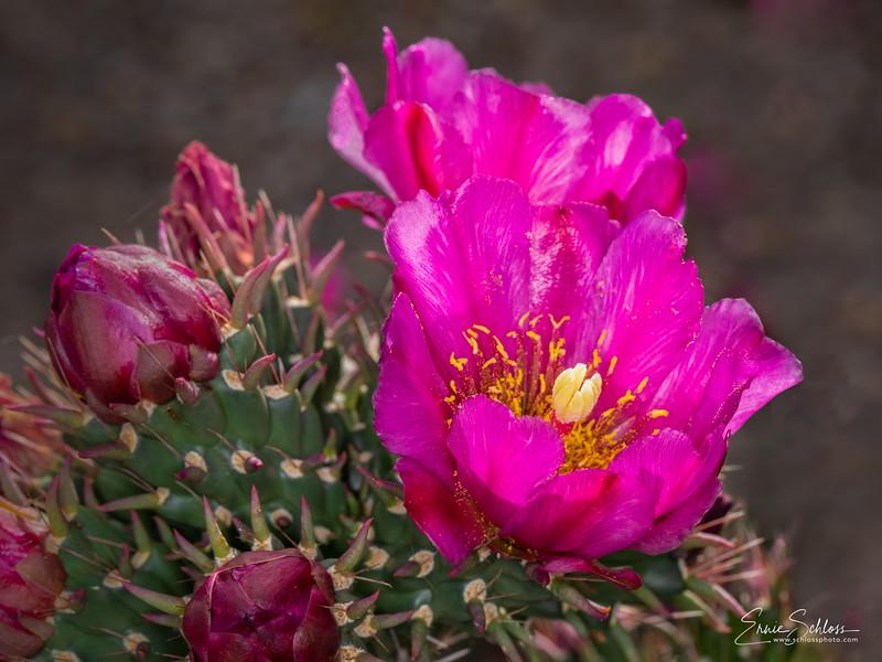IR Cactus Flowers 2-1-2019k-.jpg