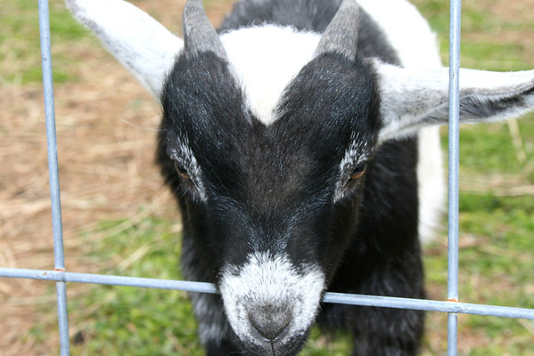 Goats 04-06-14