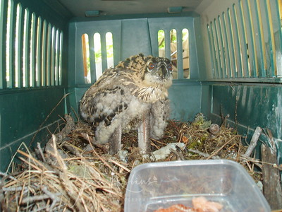 2007 Rescued Baby Osprey - Montana -