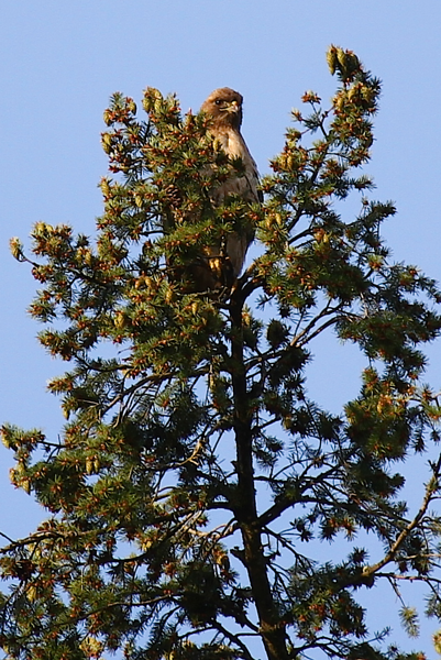 May 14, 2012 The babies are getting so big that mom and dad are spending more time hunting and perched above the nest.  The photos aren't crisp but make for some great memories of this years brood