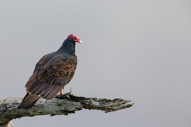 Turkey Vulture - Fremont, CA, USA