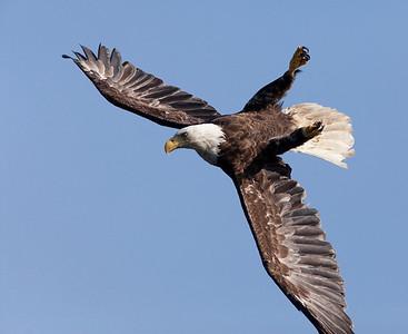 Diurnal birds of prey (<em>Falconiformes</em>)