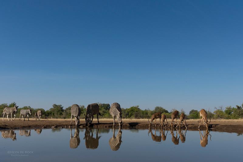 Burchell's Zebra & Impala, Mashatu GR, Botswana, May 2017-1.jpg
