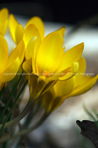 016-flower_yellow_crocus-dsm-02apr08-2912