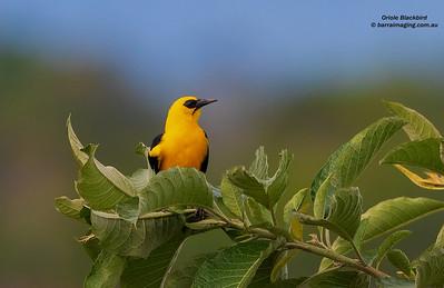 Oropendolas, Orioles and BlackbirdsFamily Icteridae