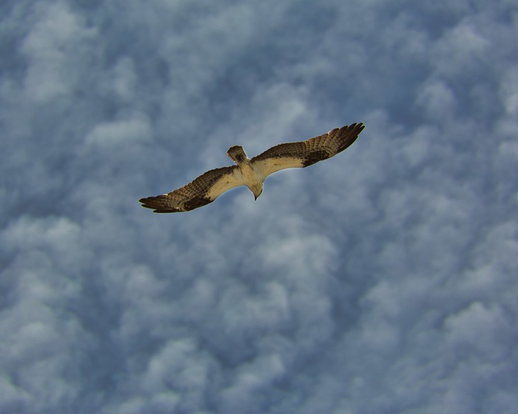 Osprey overhead with clouds.jpeg