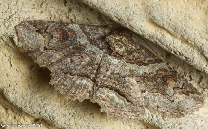 Geometer moth (Geometridae). (Iowa, USA)