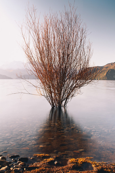 Burning Bush (Lake Wanaka)