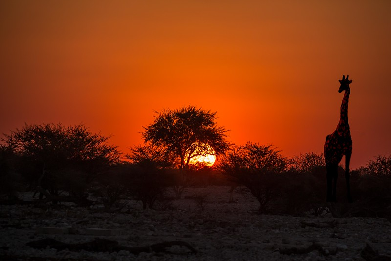 A giraffe at sunset