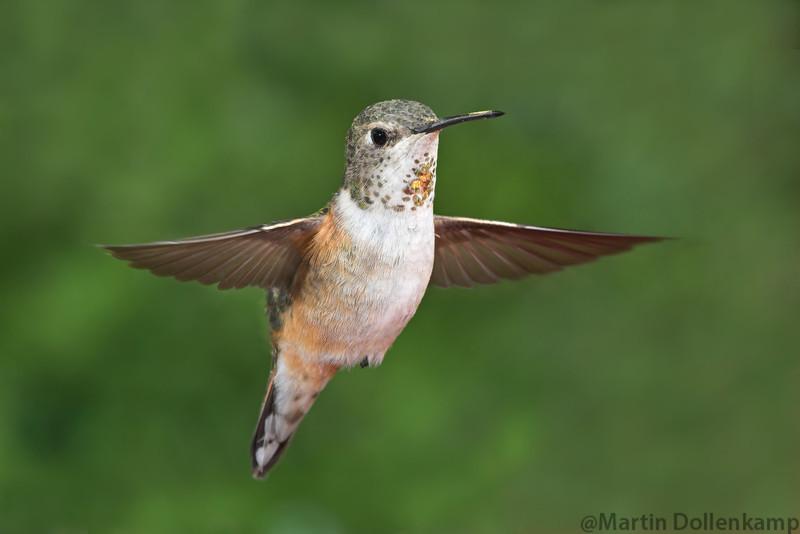 Rufous Hummingbird Selasphorus rufus female