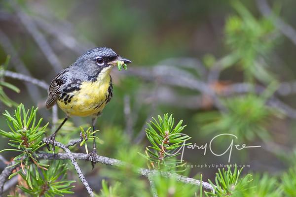Kirtland's Warblers
