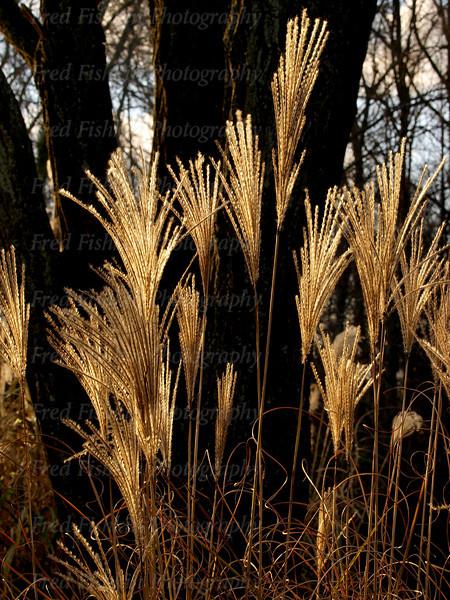 sayen tall grass.jpg