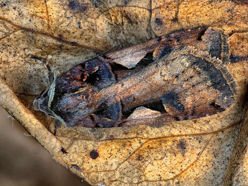 Great Black-letter Dart Moth