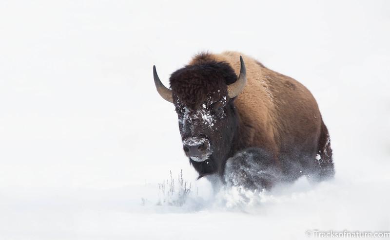 Bison charging through snow drift, Yellowstone National Park