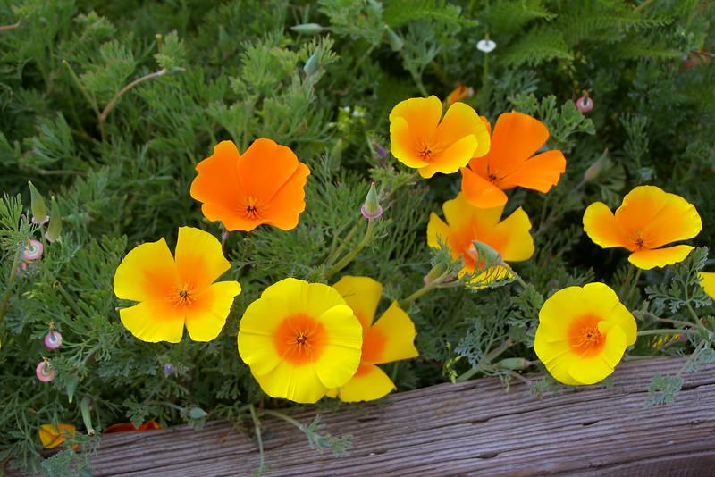 4382 Poppies.jpg