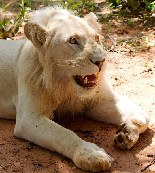 white-lion-zambia-walk-with.jpg