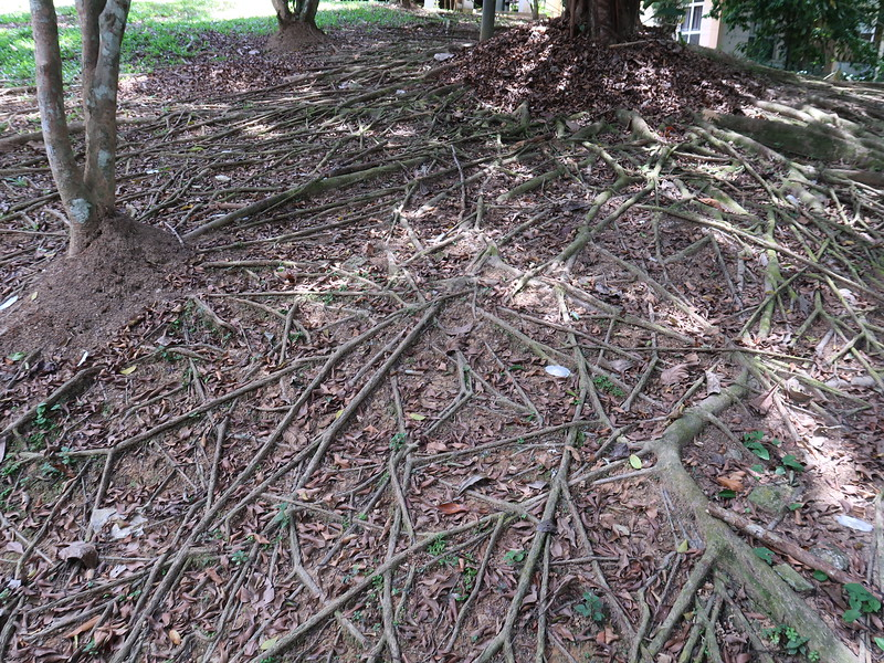 IMG_5223-tree-roots.JPG