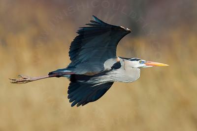 Heron, Great Blue [In-Flight]