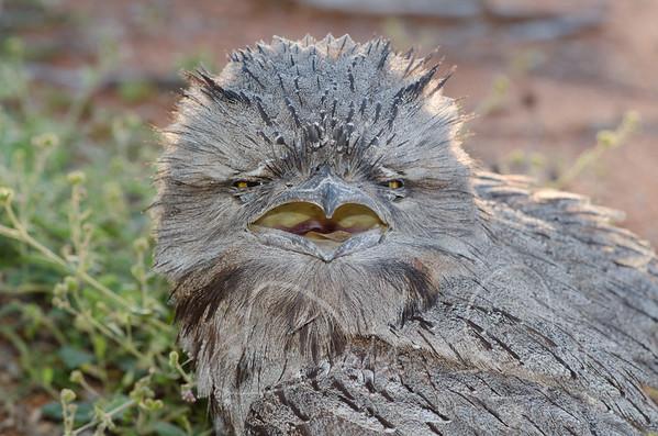 Owls, Frogmouths, Nightjars