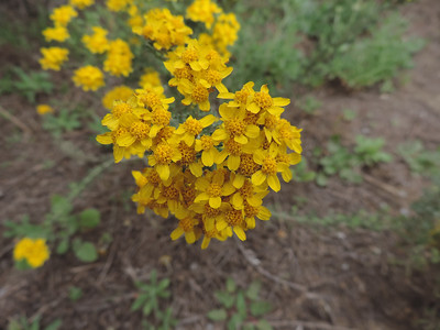 Golden Yarrow (Eriophyllum confertiflorum)