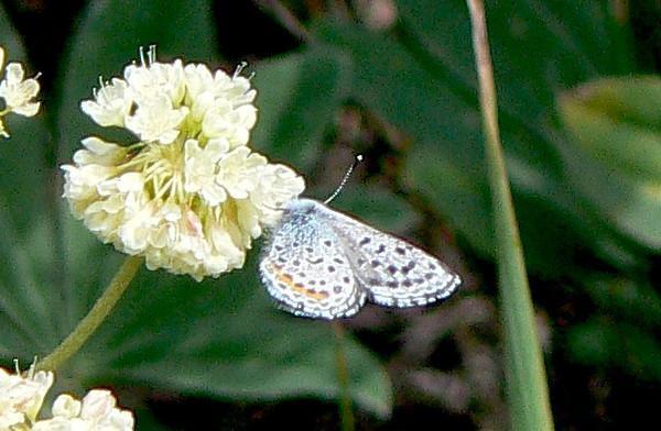 531AncillaBlue July 3, 2010 - 10:05 a.m. P1060531 Ancilla Blue, Euphilotes ancilla, in Grand Co., Rd 50 2.5 mi se of 40