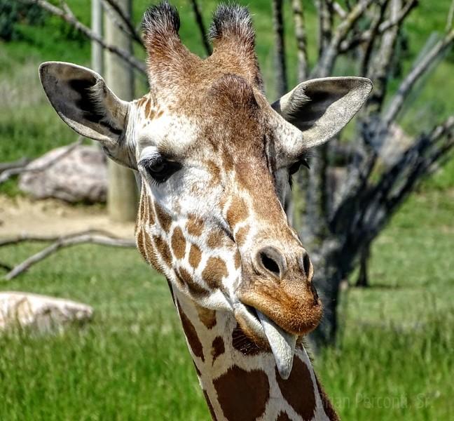 Giraffe Columbus Zoo
