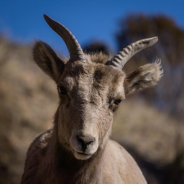 Bighorn Sheep in Colorado