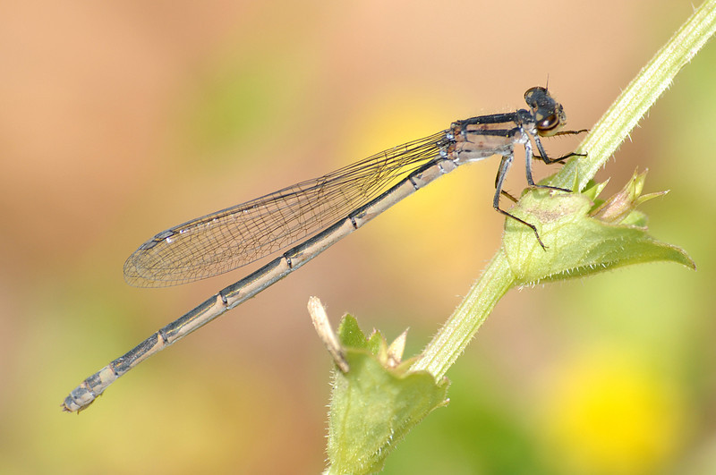 Enallagma davisi (Sandhill Bluet), SC